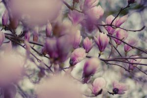 Traditional Magnolia tree