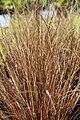 Carex b