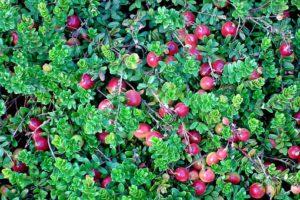 Cranberry sodt fruit bush