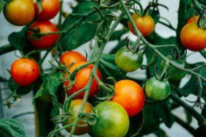 Tomatoes children gardening
