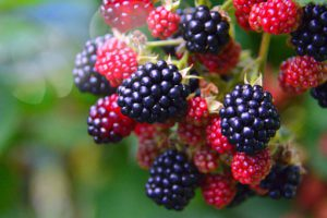 Blackberry soft fruit containers