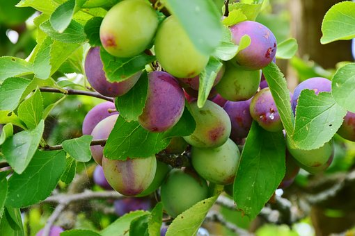 Growing Fruit Trees in Containers- There's a Tree for You