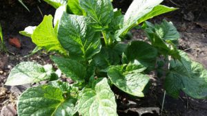 Potato Plants container