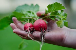 Radishes Children gardening