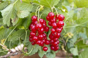Redcurrant soft fruit containers