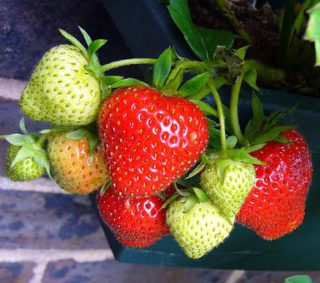 Strawberry soft fruit containers