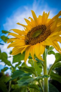Sunflower Children Gardening