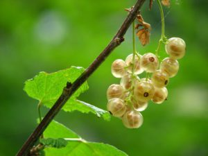 White currant soft fruit containers