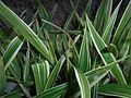 Carex siderosticha