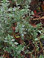 Teucrium chamaedrys