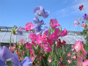 Sweet peas can do well in the shade