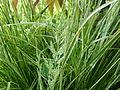 Calamagrostis_x_acutiflora