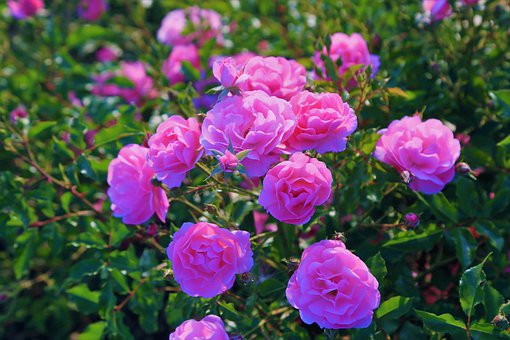 Plants for Producing Fragrant Flowers Container Displays (Bringing Scent to the Garden)