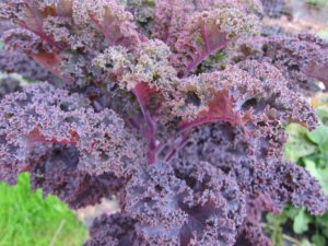 Red leave Kale
