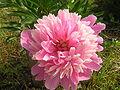 Paeonia 'Sarah Berhardt'