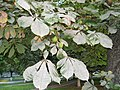 Powdery Mildew not good on houseplants