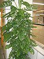 Monstera an ideal houseplant