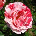 Rosa 'Crazy for You'