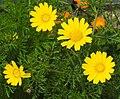 Chrysanthenum Coronatia