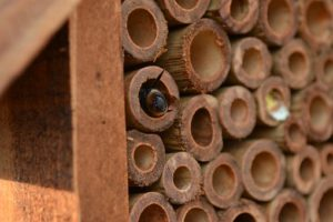 Mason bee, a type of solitary bee