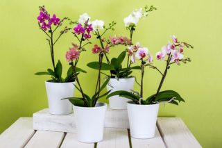 32 of the Best Flowering Houseplants (Plants that will Give Great Blooms Indoor)