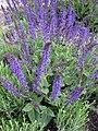 Salvia Nervosa