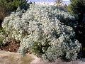 Artemisia_arborescens