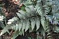 Athyrium_niponicum_var._pictum