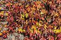 Parthenocissus tricuspid