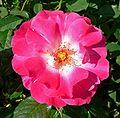 Rosa 'Summer Vine'