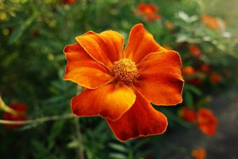 French Marigold an annual