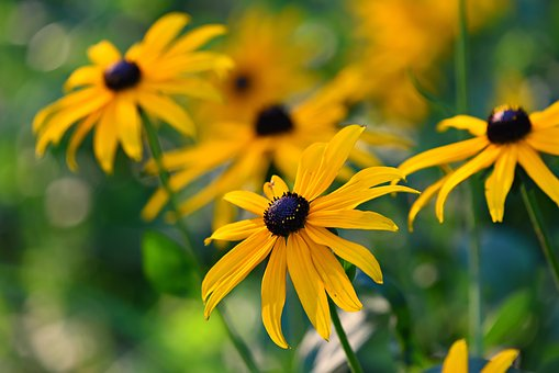 RudBeckia looks great in containers