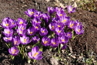 Bulbs are a must in spring container gardens