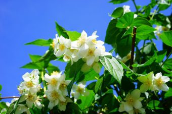Grow small shrubs like Philadelphus