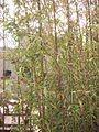 Narihira Bamboo