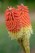 Kniphofia ensifolia