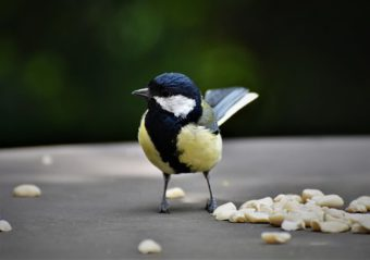 Tit eating peanuts