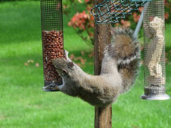 Dquirrels are a pest of bird feeders