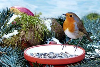 Robin Eating Seeds
