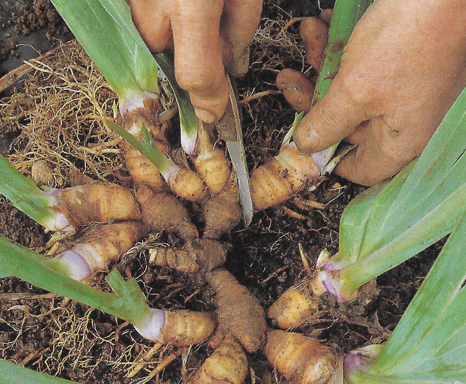 Plants with Rhizomes are lifted after flowering in summer and young rhizomes are cut from the old plant.