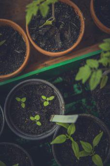 Seedlings growing in Pots