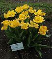 Tulipa 'Candela'