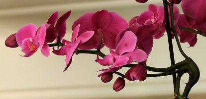 Growing Orchids as Houseplants- Part II The Best Orchids to Have