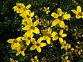 Bidens ferulifolia_