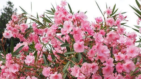 Nerine oleander