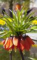 Frittilaria imperlis