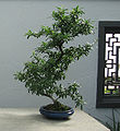 Pyracantha bonsai