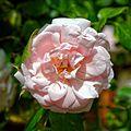 Rose 'Crazy for You'