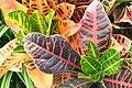 Codieum variegatum pictum