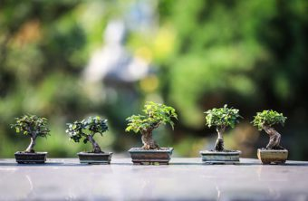 How to Get the Best from your Bonsai Tree